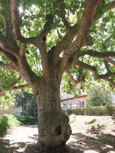Un arbre accueillant au Domaine St-Joseph.